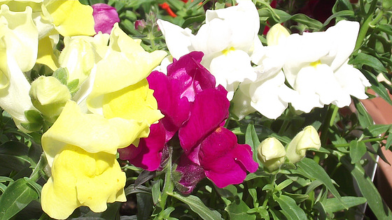The snapdragons are so colourful