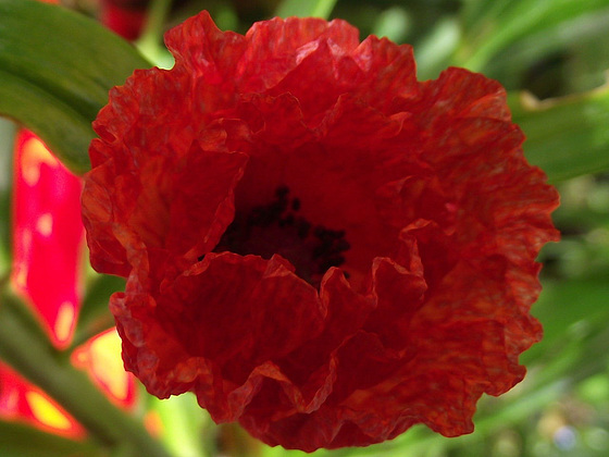 The red poppy is so beautiful