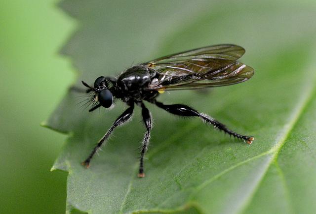 Big waspy fly