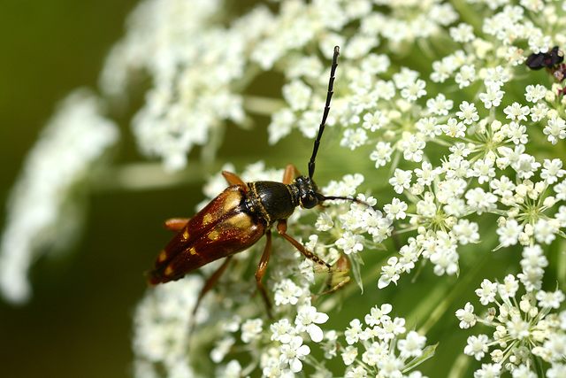 Longhorn beetle dines with Queen Anne