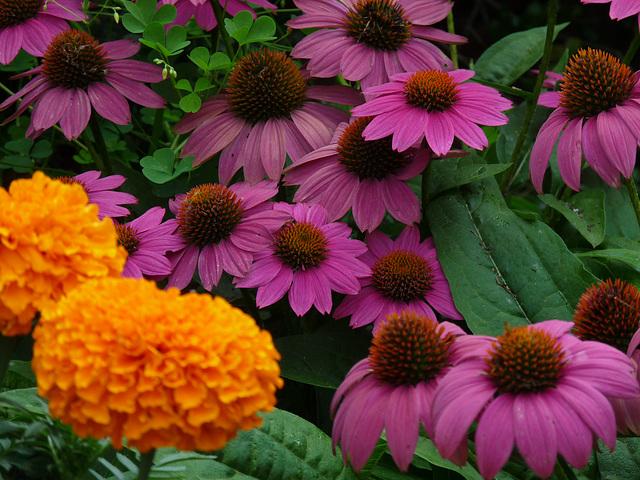 marigolds & coneflowers