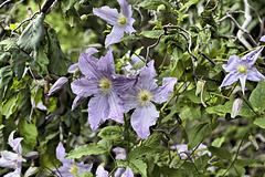 Corkscrew Hazelnut Flowers – Botanical Garden, Montréal, Québec