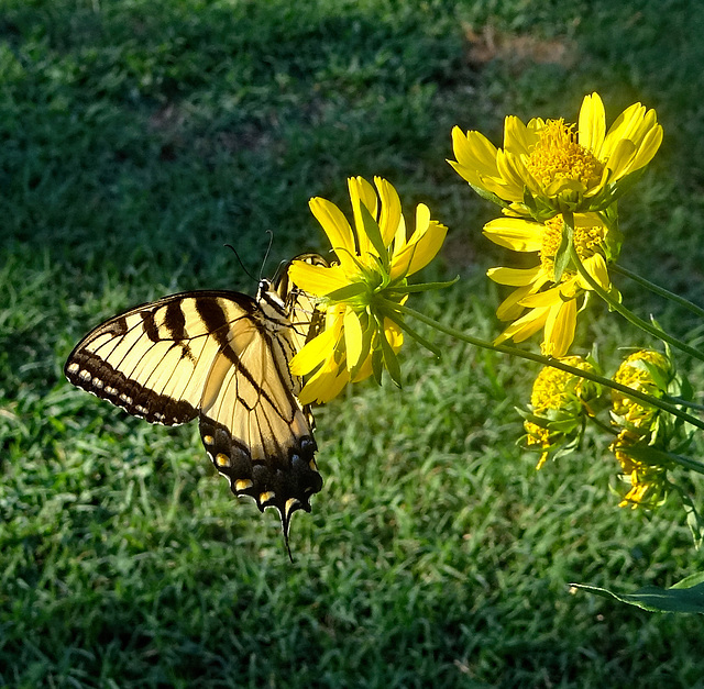 Eastern Tiger Swallowtail(Papilio glaucus)