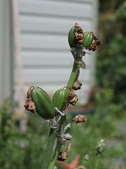 Capsules d'iris