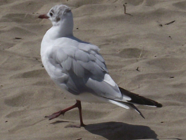 Young seagull strutting his stuff on the sand