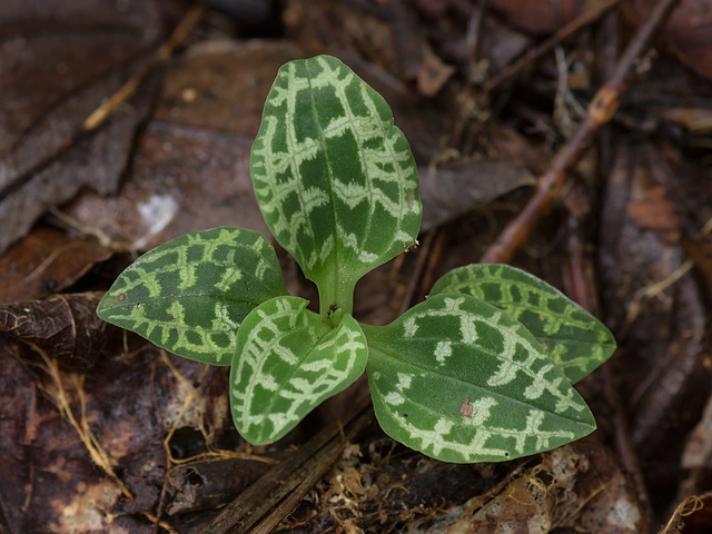 Goodyera repens (Dwarf Rattlesnake Plantain orchid) leaves