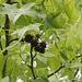 Fruits de Liquidambar