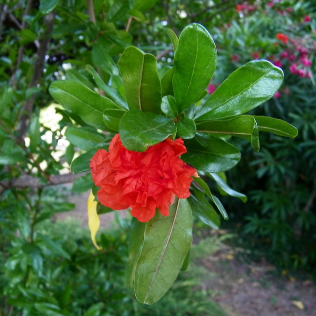 Grenadier-fleur