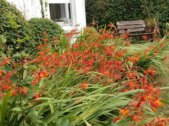 Riot of orange in the garden