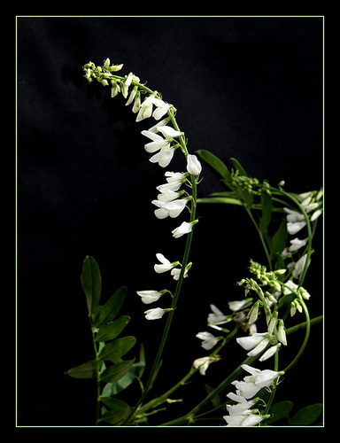 Galega officinalis -forme blanche