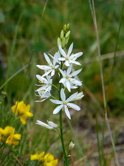 Anthericum liliago - St Bernard's lily