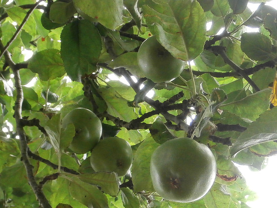Apples are growing beautifully
