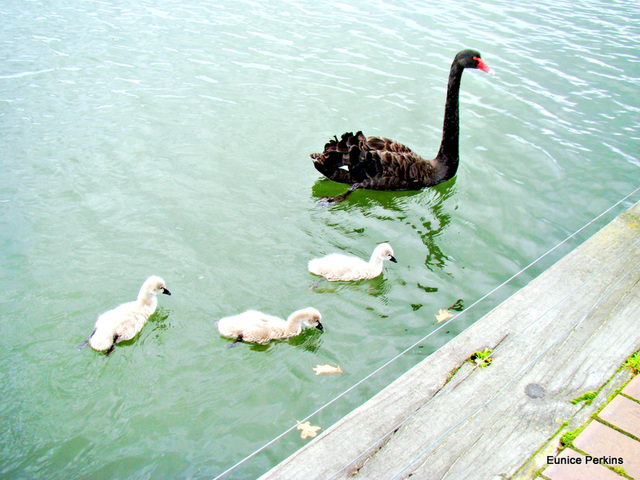 Mother Swan and Her Baby Cygnets