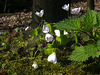 20140402 0001Hw [D~LIP] Wald-Sauerklee (Oxalis acetosella), Hühnerwiem