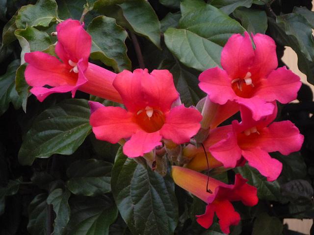 Flores campana