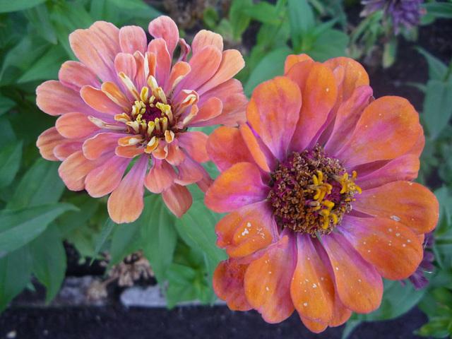 Dos flores de Colina