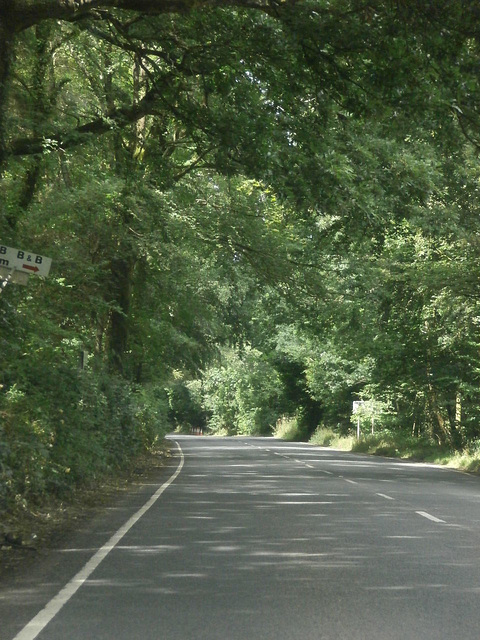 A gorgeous avenue of trees - a typical Devon road