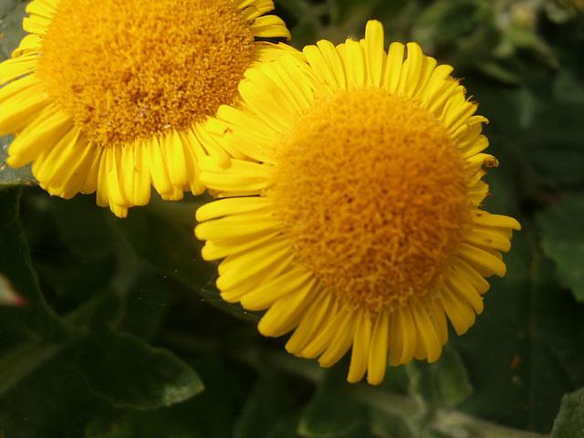 An unusual daisy flower on the clifftop