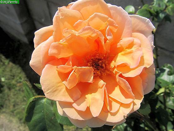02 Margaret's rose