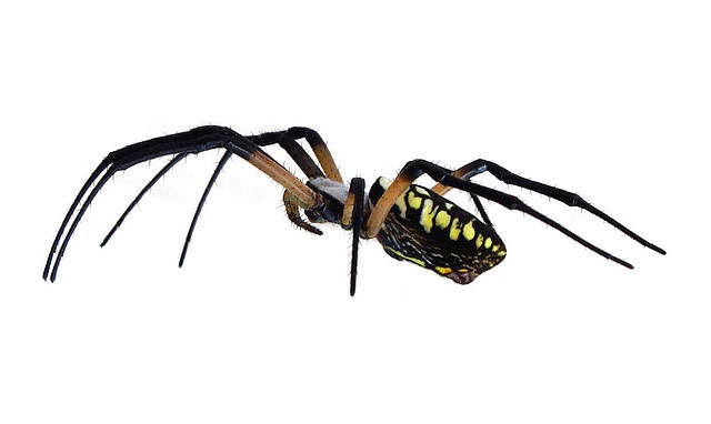 Black and Yellow Argiope Spider
