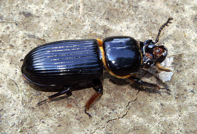 Horned Passalus Beetle
