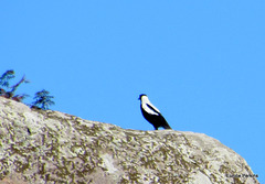 Magpie on a Rock