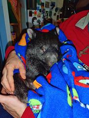 Shanus the wombat joey