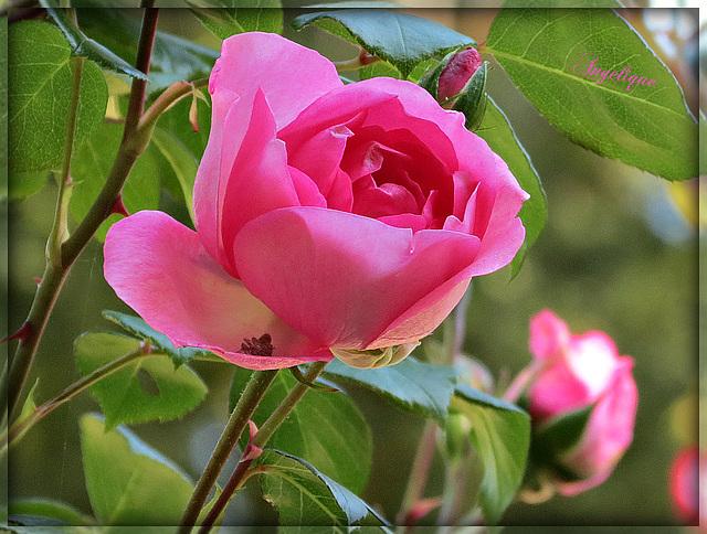 Belle soirée à tous ! cette rose pour Lucette et Pamj
