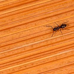 Ant on Bamboo Floor