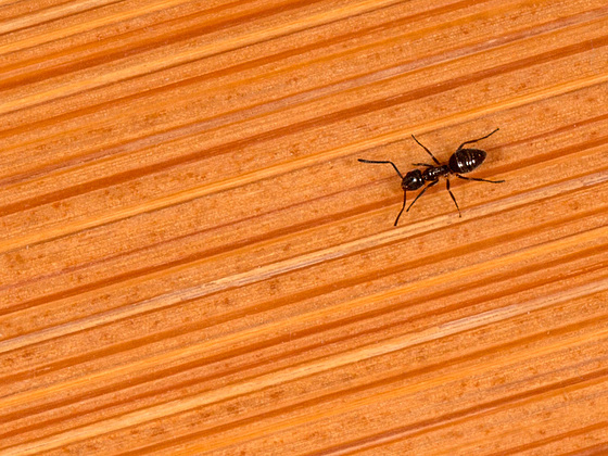 Ant on Bamboo Floor