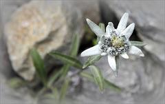 Leontopodium alpinum :-))