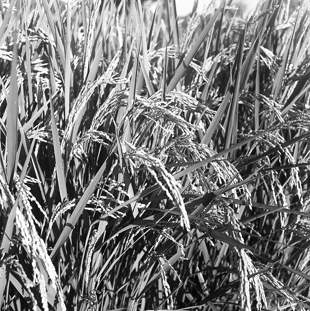 Rice plant in August