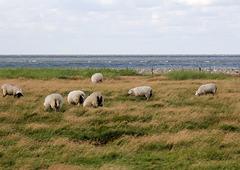 Schafe auf den Salzwiesen an der Nordsee