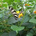 Butterfly at NHM (1) - 2 August 2014