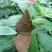 Butterfly at NHM (2) - 2 August 2014