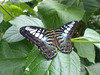 Butterfly at NHM (3) - 2 August 2014