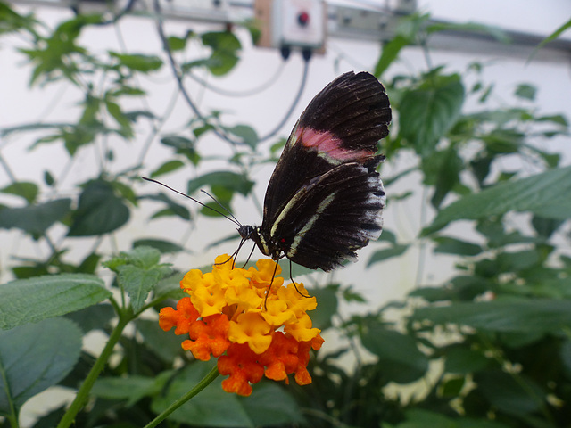 Butterfly at NHM (4) - 2 August 2014