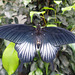 Butterfly at NHM (5) - 2 August 2014