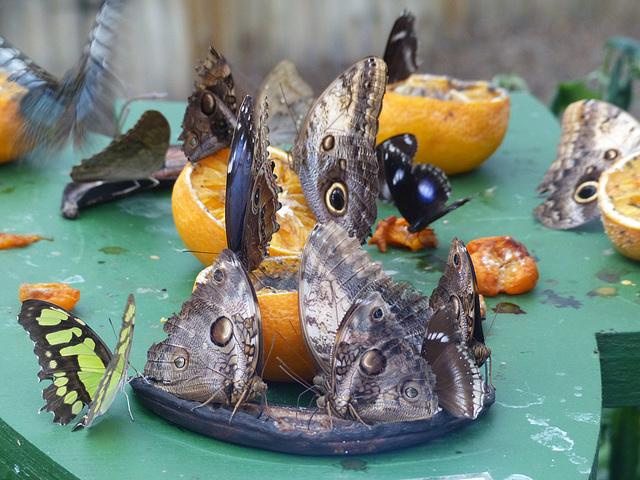 Butterflies Feeding at NHM (1) - 2 August 2014