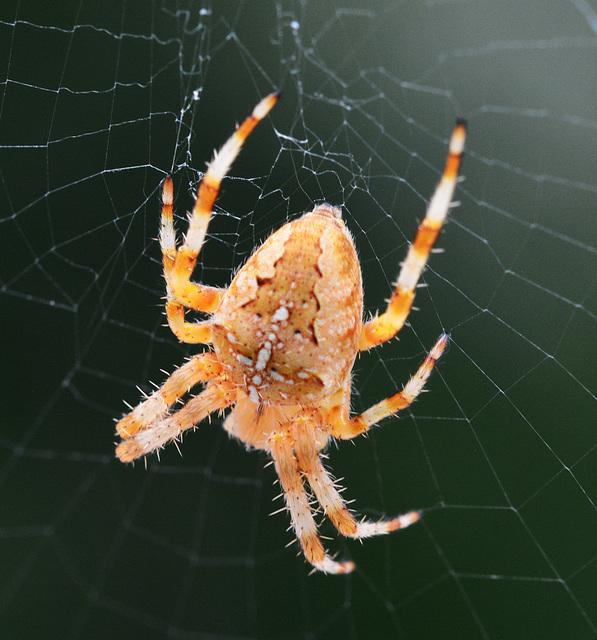 Orb Web Spider, Araneus diadematus