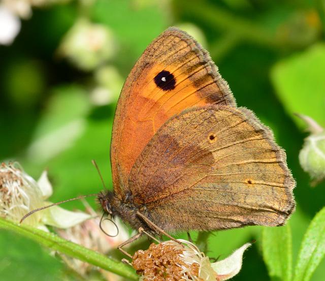 Meadow Brown, Maniola jurtina