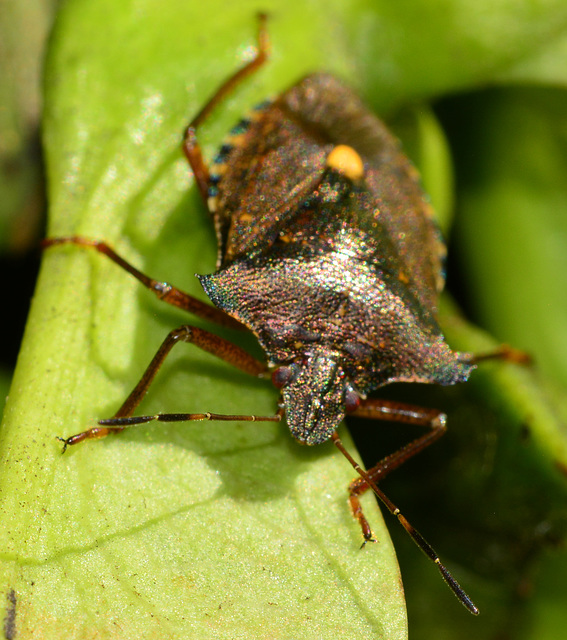 Forest Shieldbug, Pentatoma rufipes