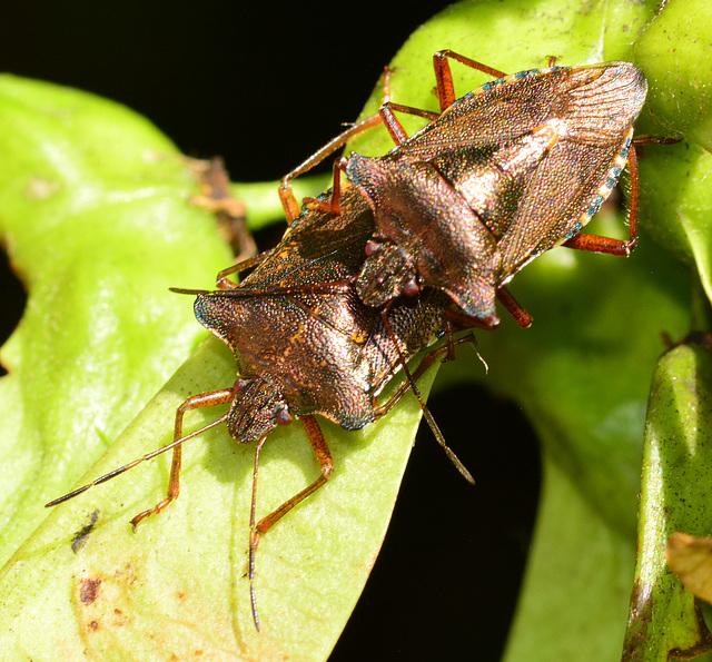 Forest Shieldbug, Pentatoma rufipes