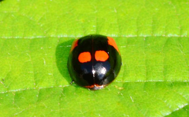 Ladybird. Adalia Bipunctata,variant