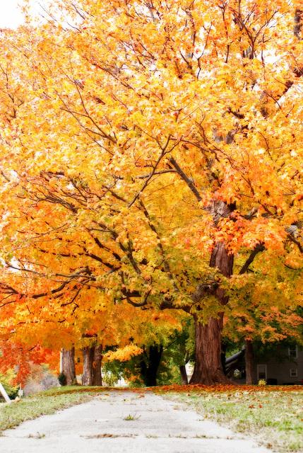 Fall Tree, 2012