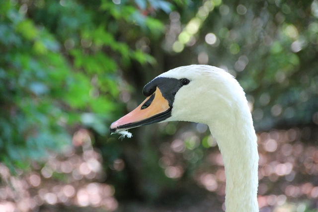 Swan at Sheffield Park Gardens