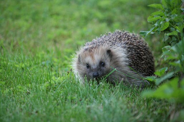 Siil / Hedgehog