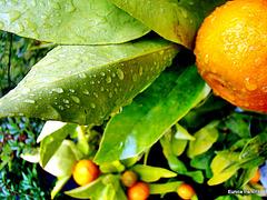 Tangelo in the Rain