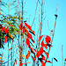 Red Leaves in the Breeze.