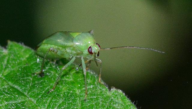 Common Green Capsid. Lygus pabulinus